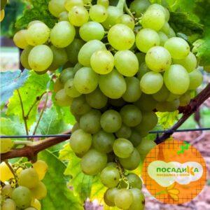 Виноград Триумф (белый)