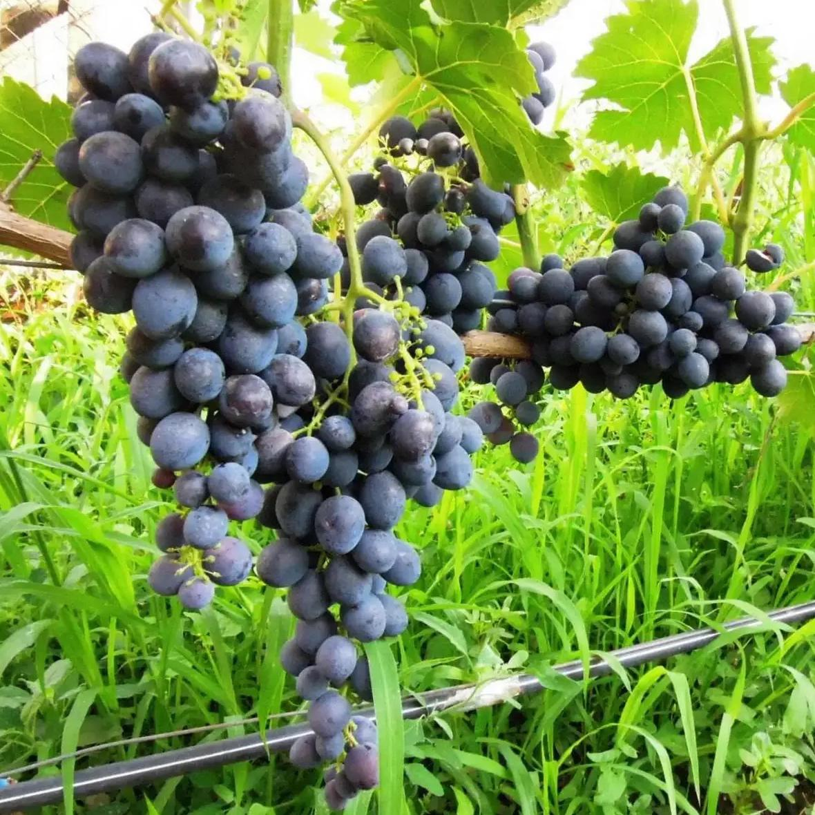 Виноград Сфинкс (2)