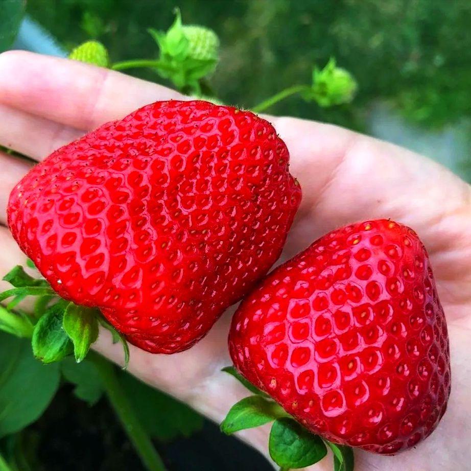 Клубника Кимберли (Высокоурожайный сорт) (2)