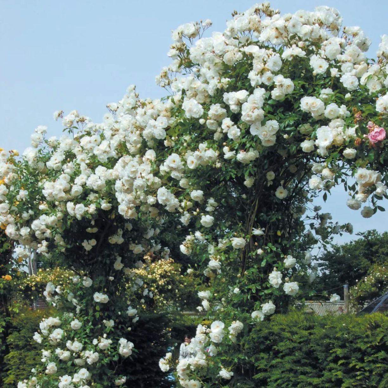 Роза плетистая Айсберг (2)
