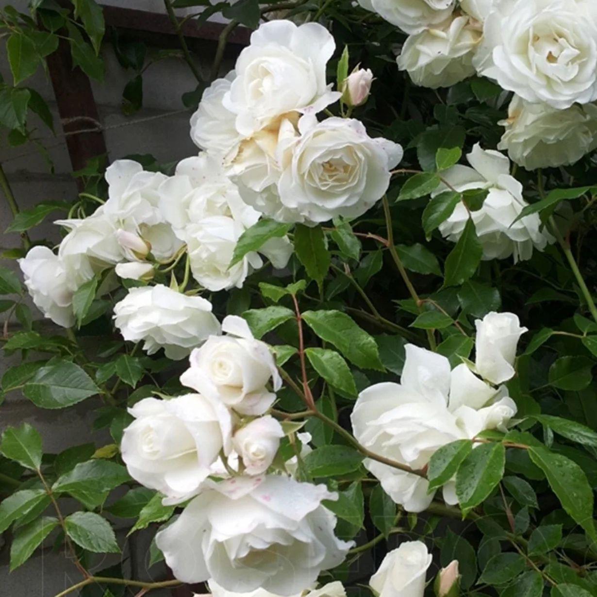Роза плетистая Белый каскад (2)