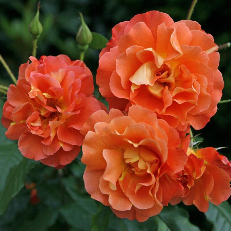 Роза плетистая  Вестерленд (2)