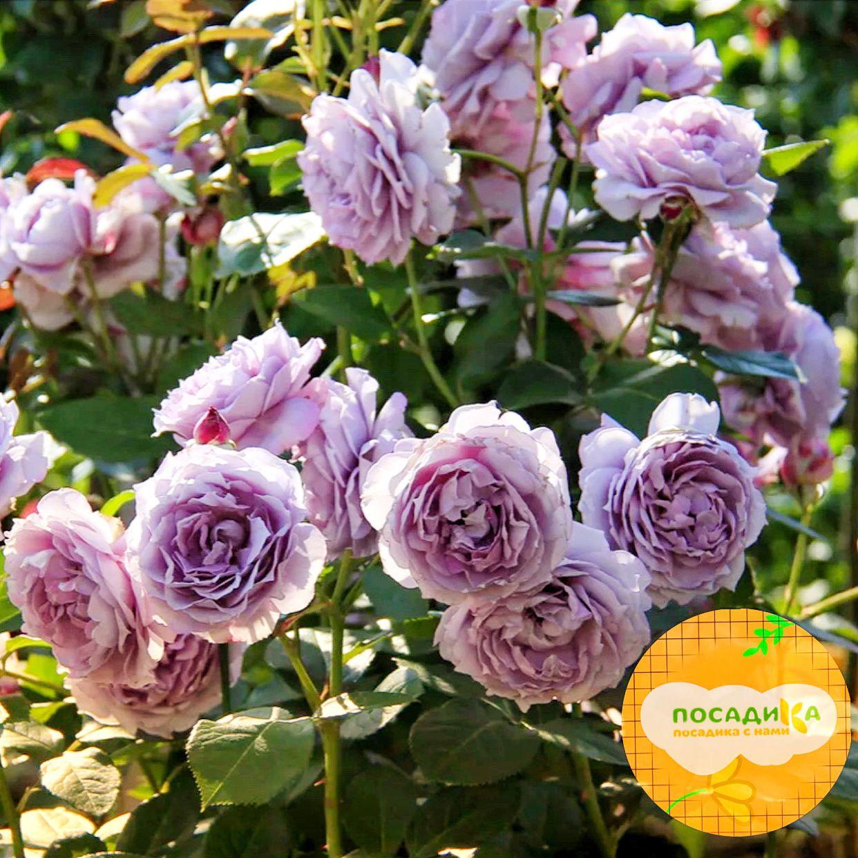 Роза шраб Флоренс Делатре