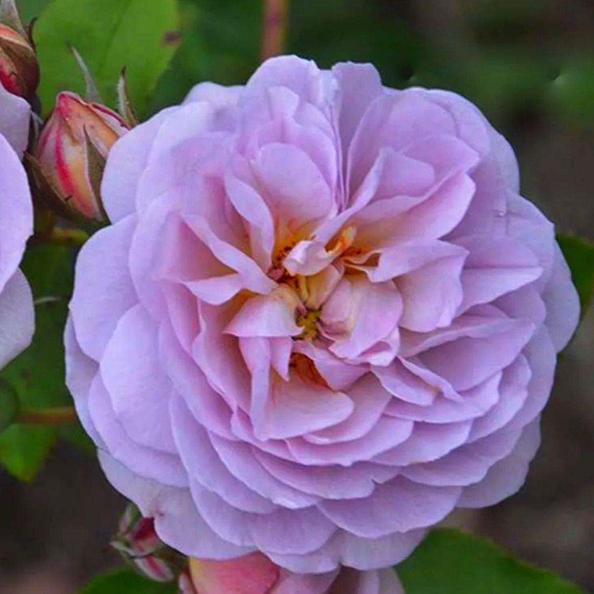 Роза шраб Флоренс Делатре (2)
