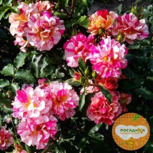Роза шраб Эдгар Дега