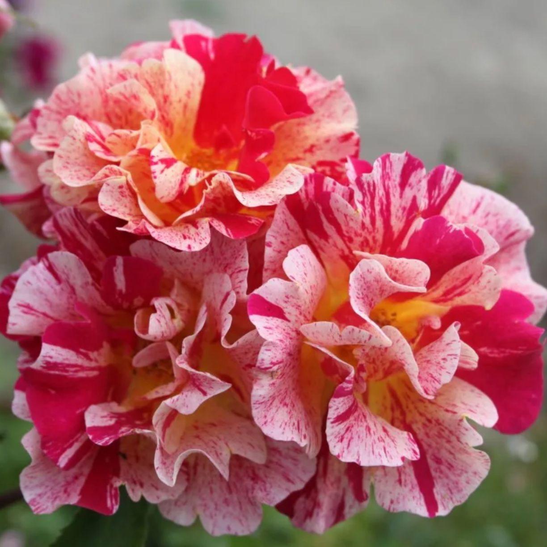Роза шраб Эдгар Дега (2)