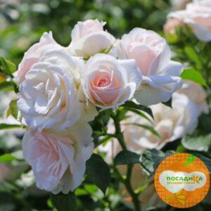 Роза почвопокровной Аспирин