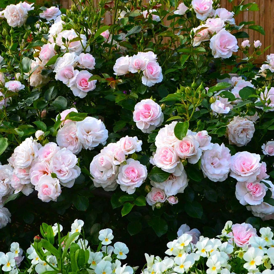 Роза почвопокровной Аспирин (2)