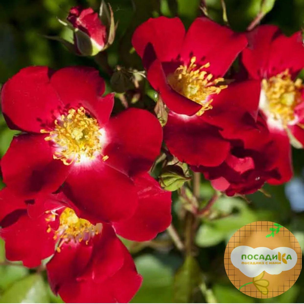 Роза почвопокровный Руж Мейяндекор