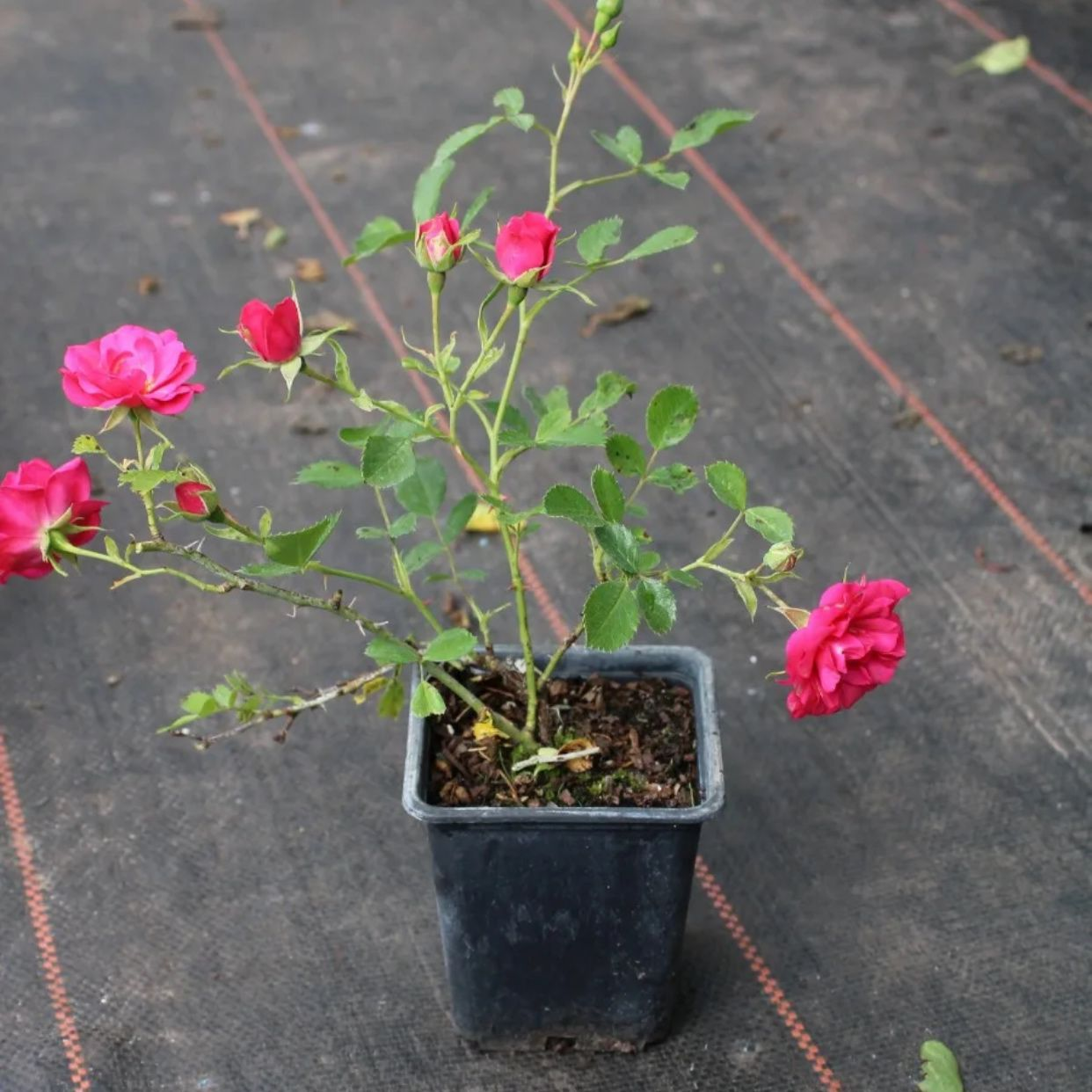 Роза почвопокровный Хеллоу (2)