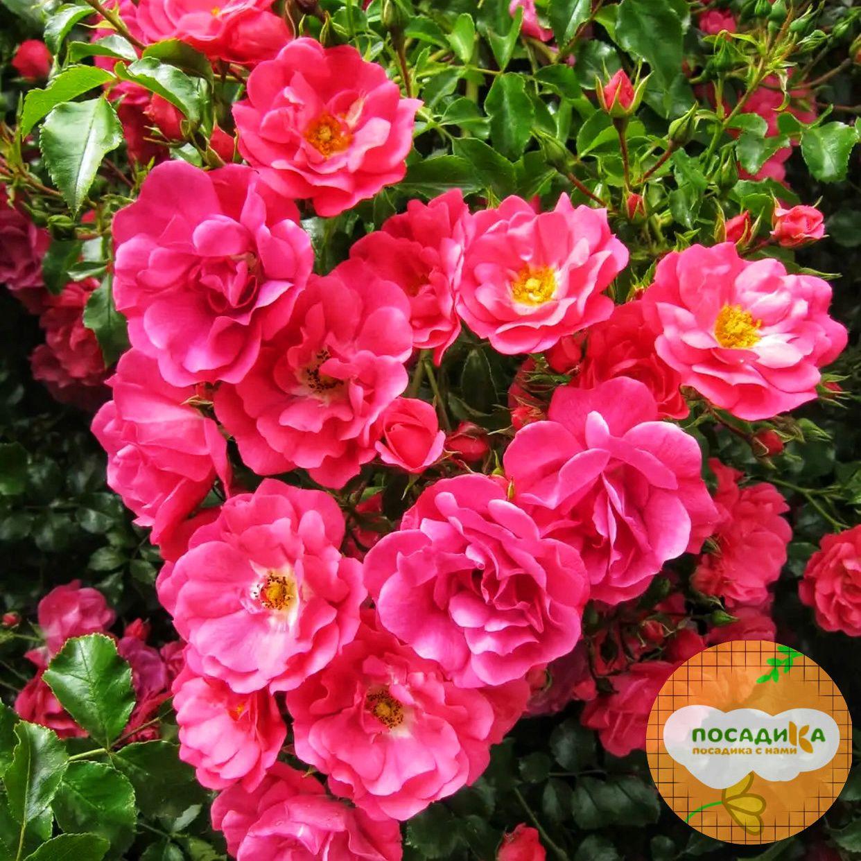 Роза почвопокровный Хеллоу