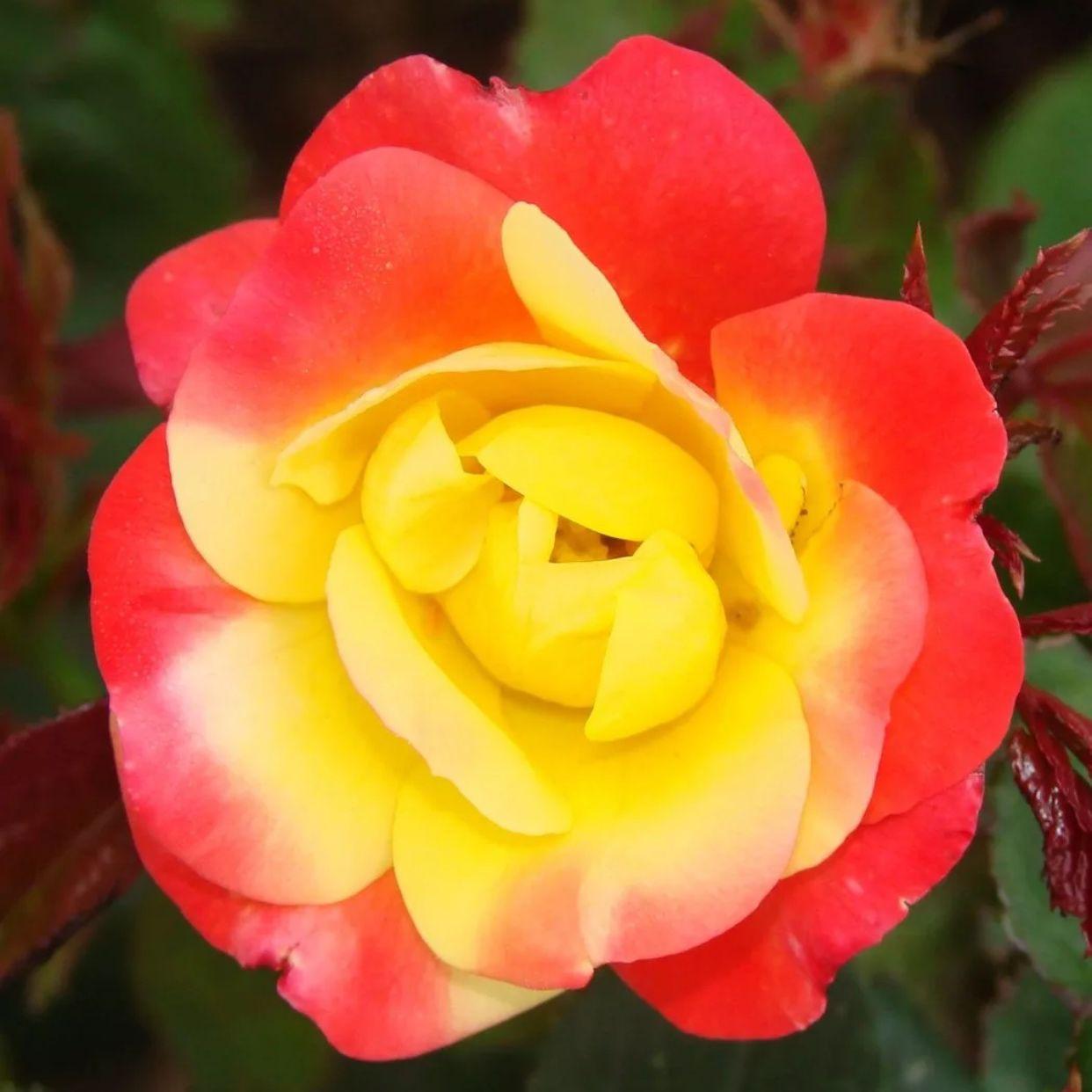 Роза флорибунда Маскарад (2)