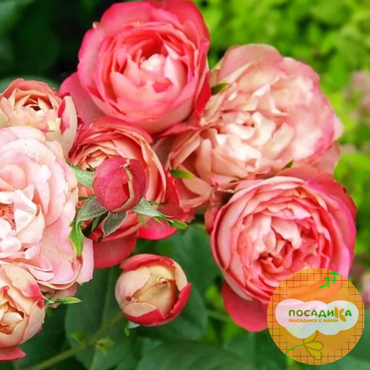 Роза флорибунда Акрополис