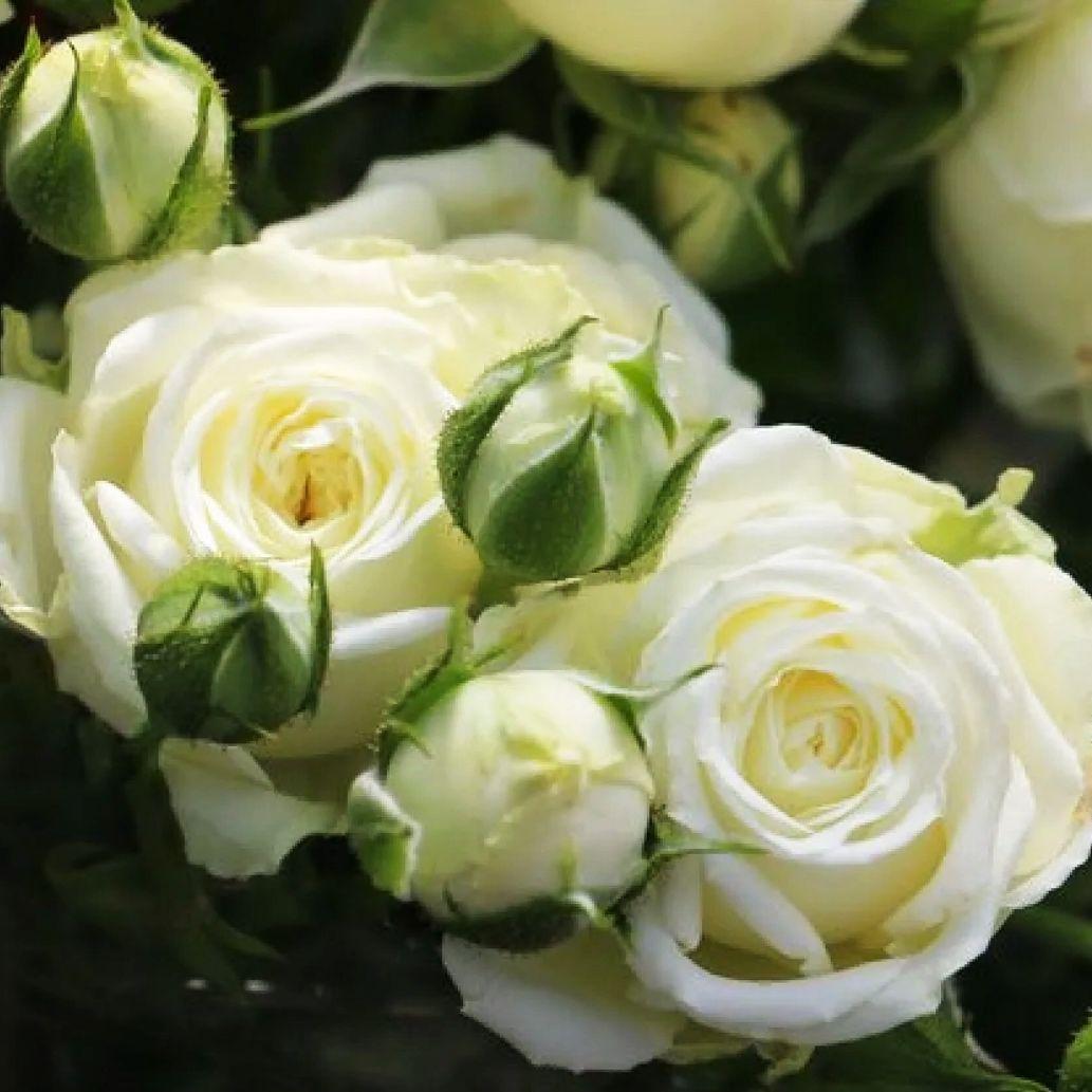 Роза Спрей белый (2)