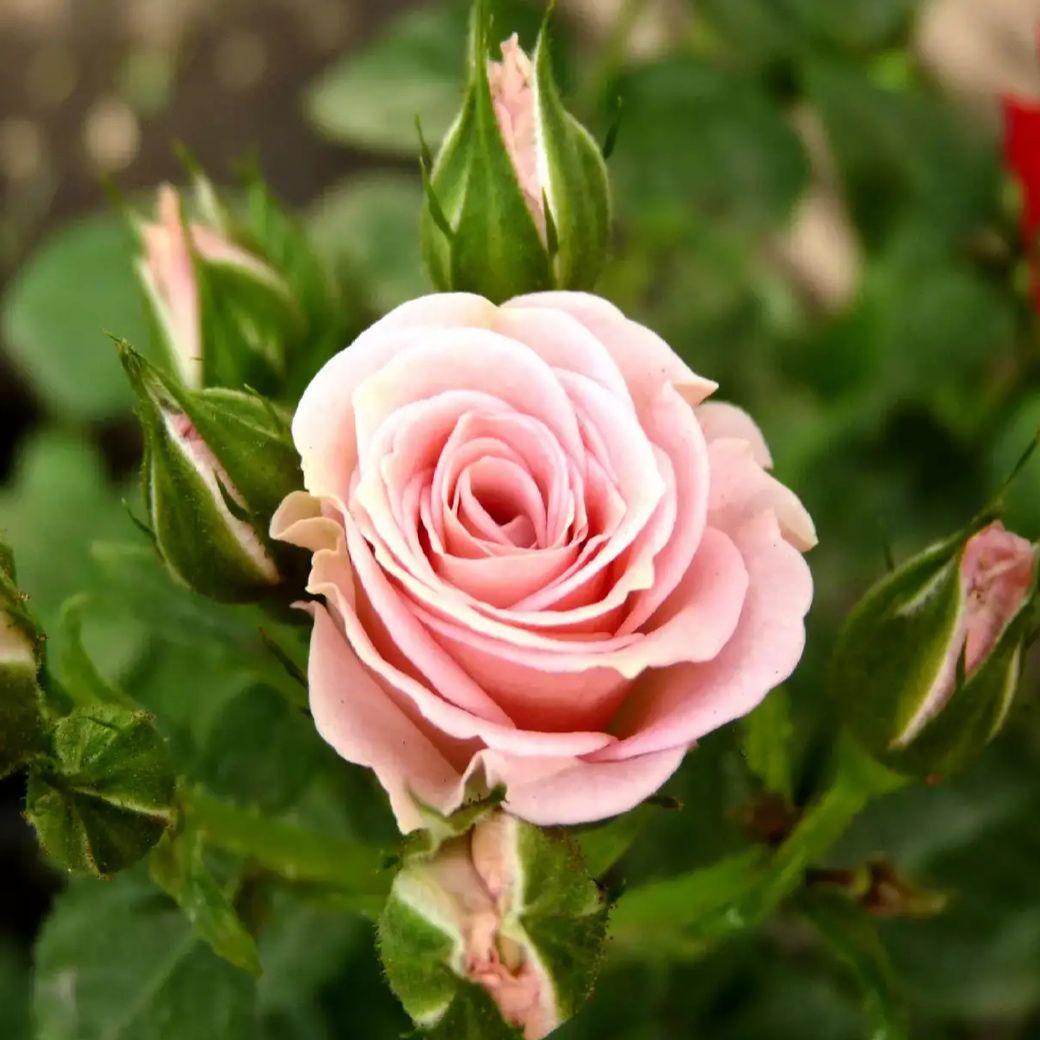 Роза спрей Лидия (2)