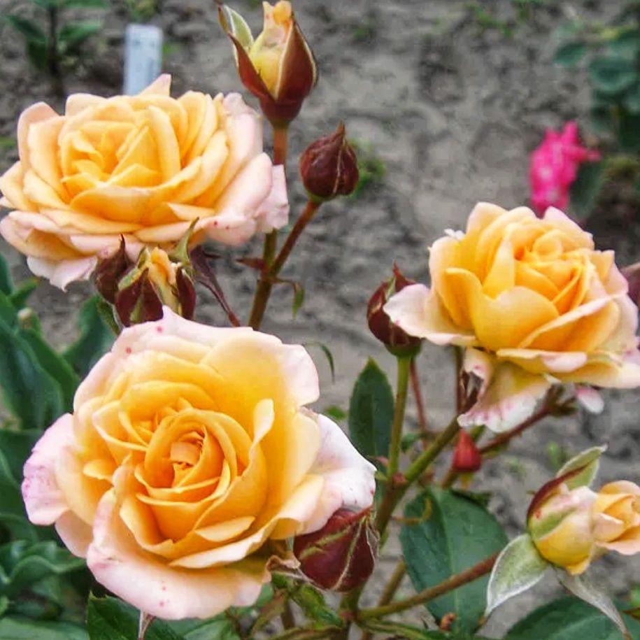 Роза Спрей Макарена (2)