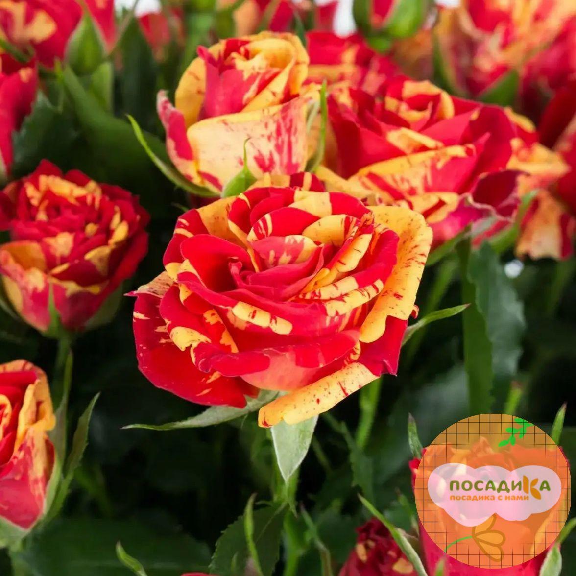 розы спрей Файер Флеш