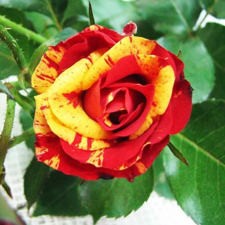 розы спрей Файер Флеш (2)