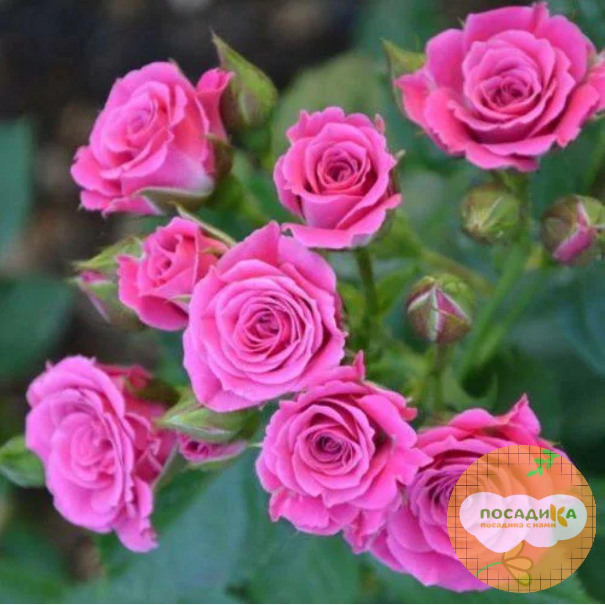 Роза Спрей розовый