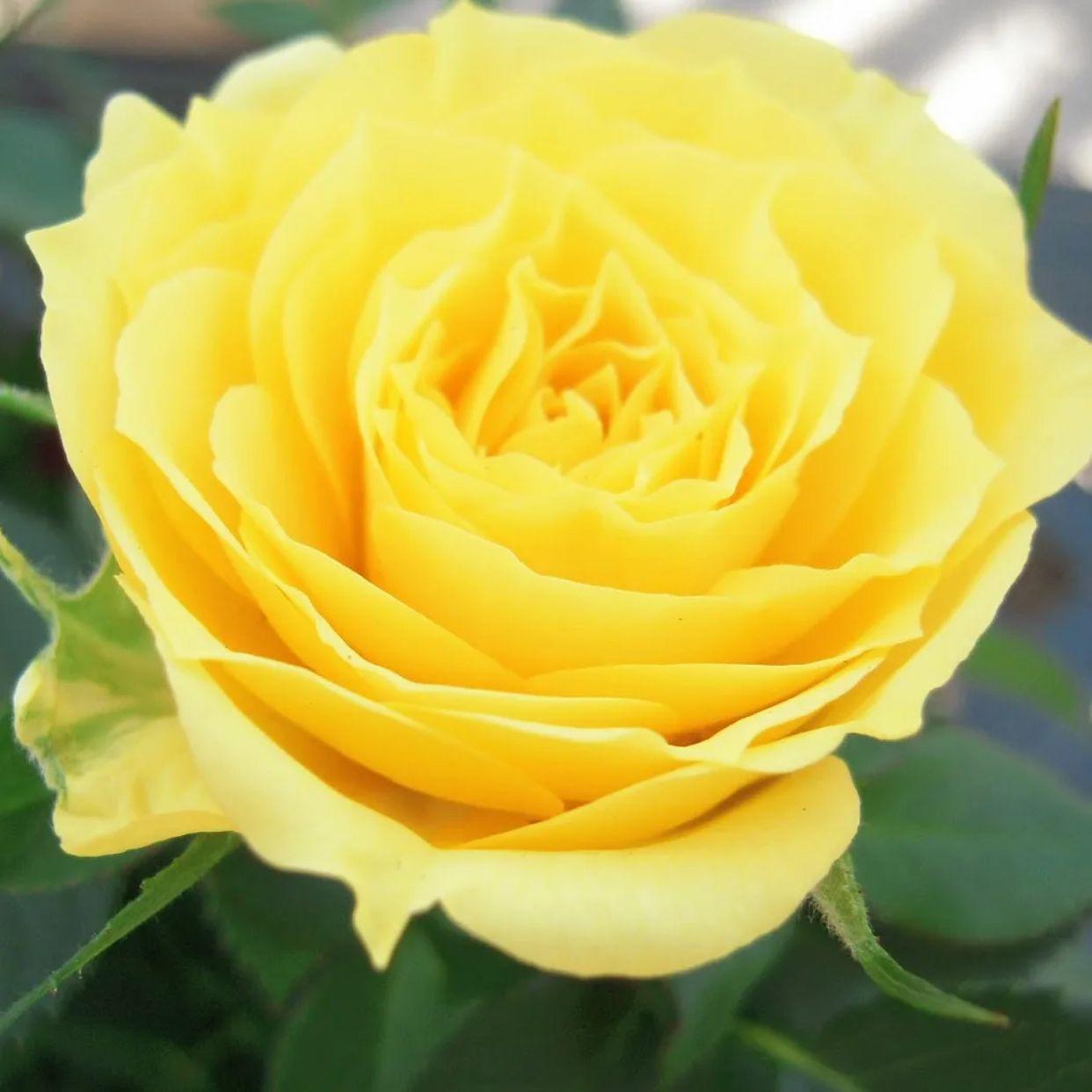 Роза МИНИАТЮРНАЯ Аполло (2)