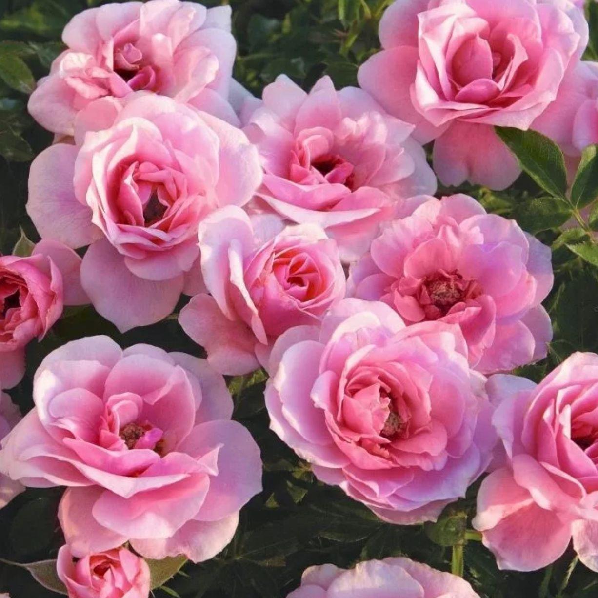 Роза МИНИАТЮРНЫЕ Пинк (2)