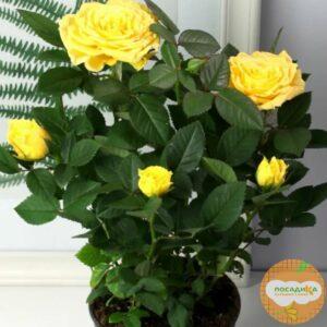 Роза миниатюрная Атлантик Палас