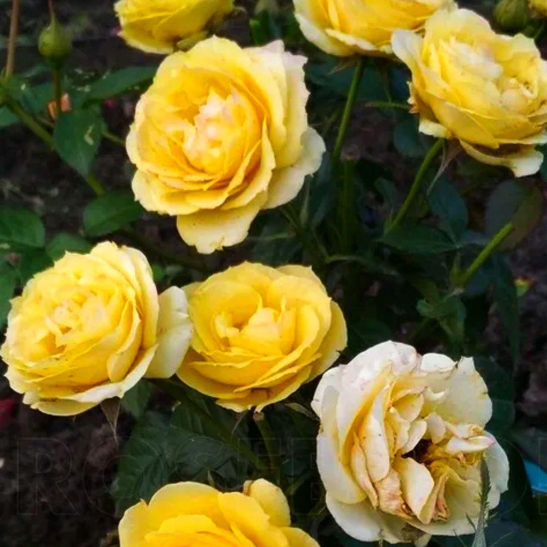 Роза миниатюрная Атлантик Палас (2)
