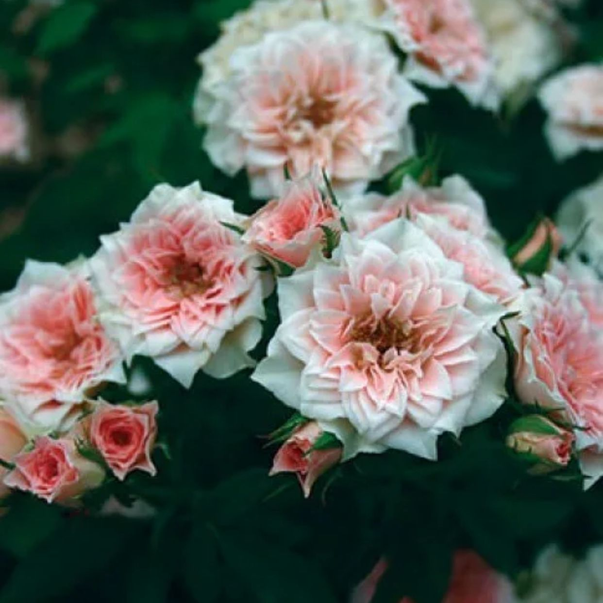 Роза миниатюрная Даниэла (2)