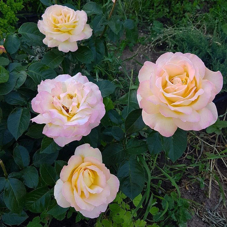 Роза чайно-гибридная Глория Дей (2)