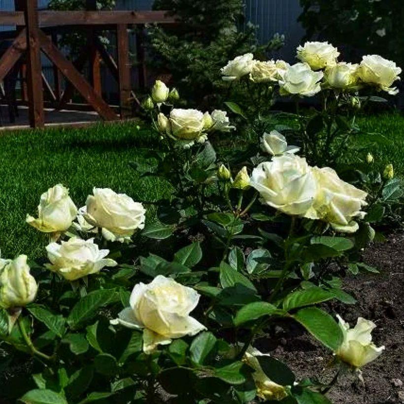 Роза чайно-гибридная Аваланж (3)