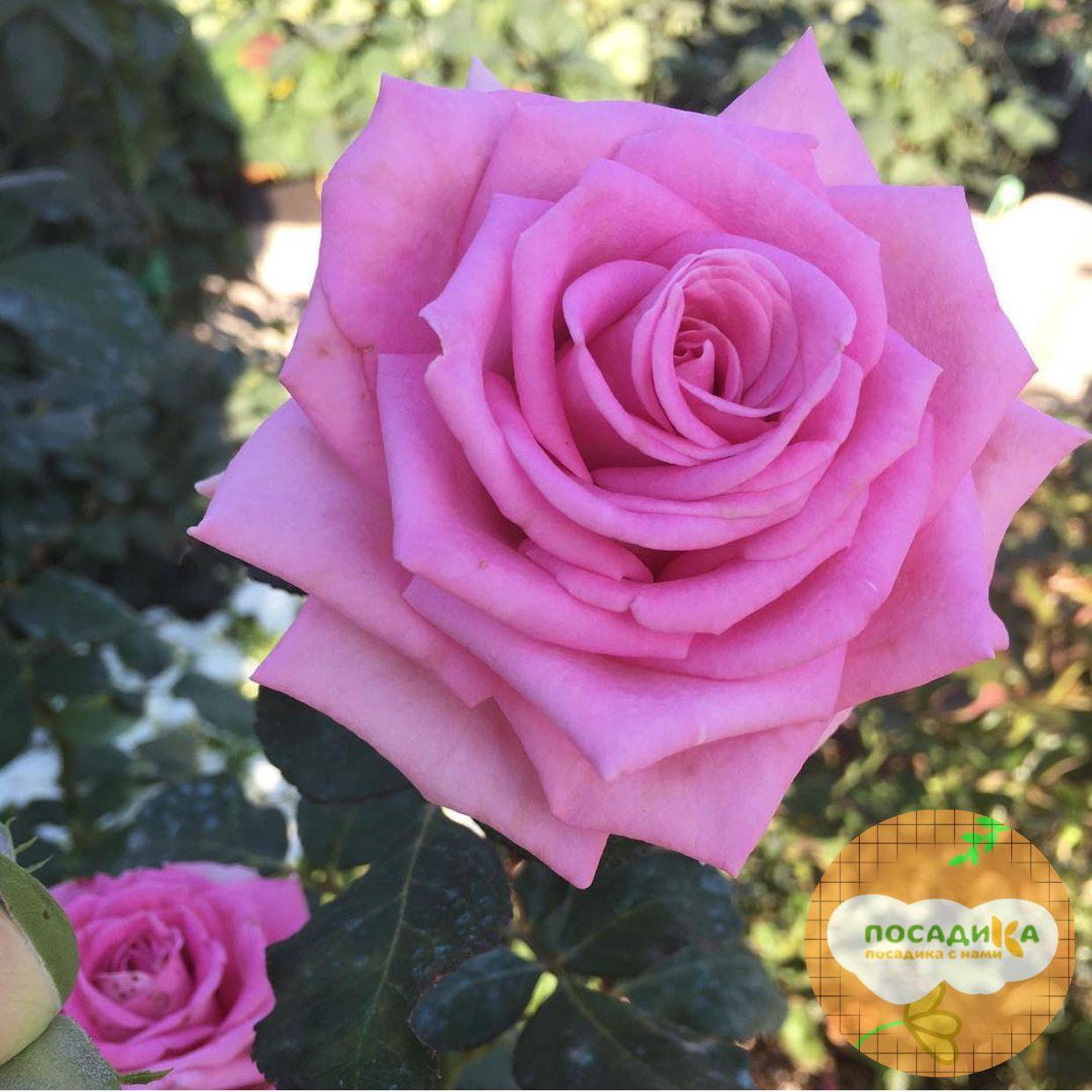 Роза чайно-гибридная Аква