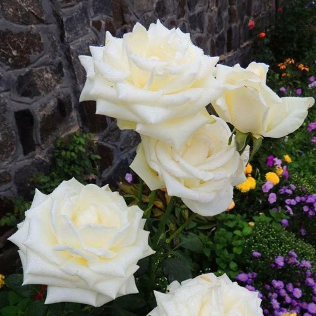 Роза чайно-гибридная Анастасия (2)