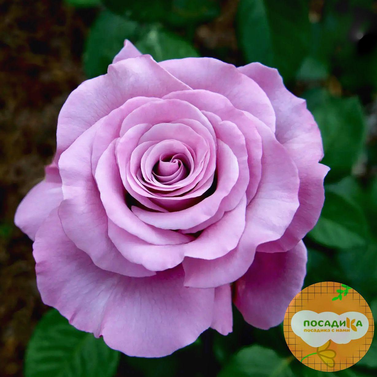 Роза чайно-гибридная Аметист
