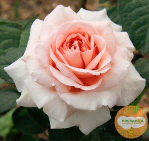 Роза чайно-гибридная  Амелия