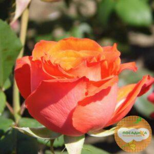 Роза Чайно-Гибридная Анжелика