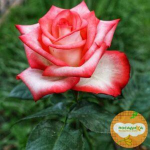 Роза чайно-гибридная Блаш