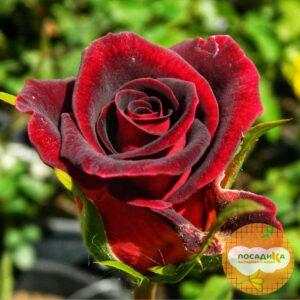 Роза Блек Мэджик