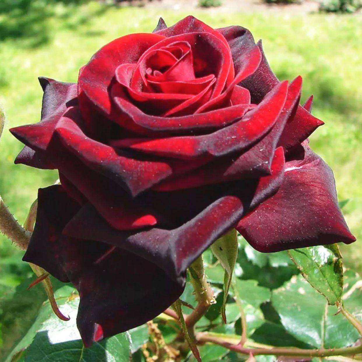 Роза Блек Мэджик (2)