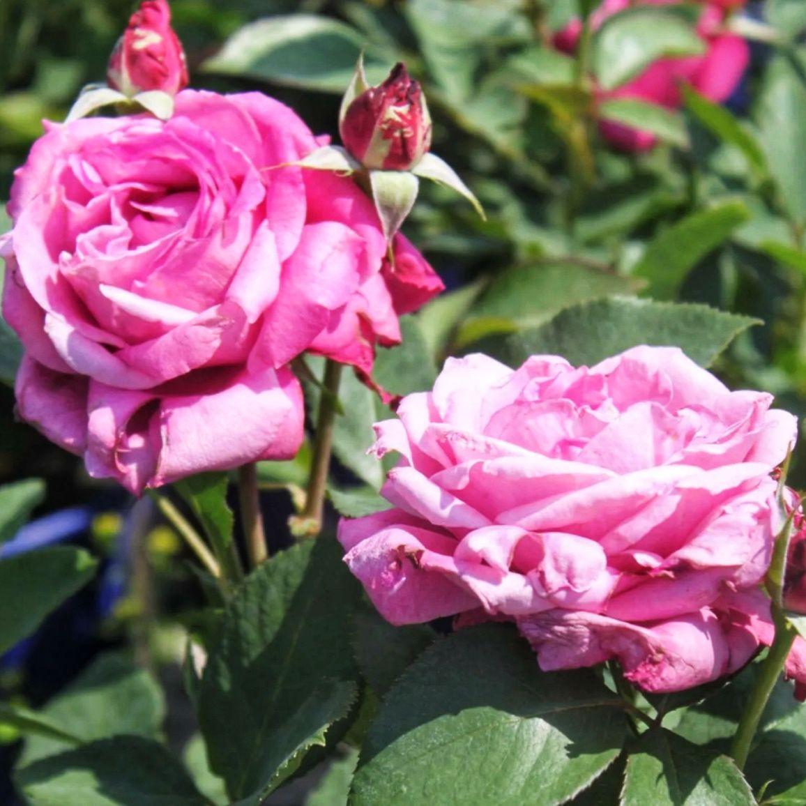 Роза чайно-гибридная Блю Парфюм (2)