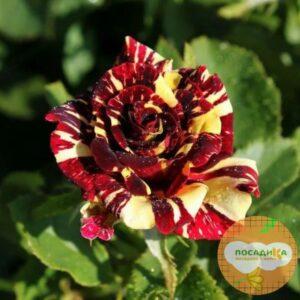 Роза чайно-гибридная Брызги Шампанского