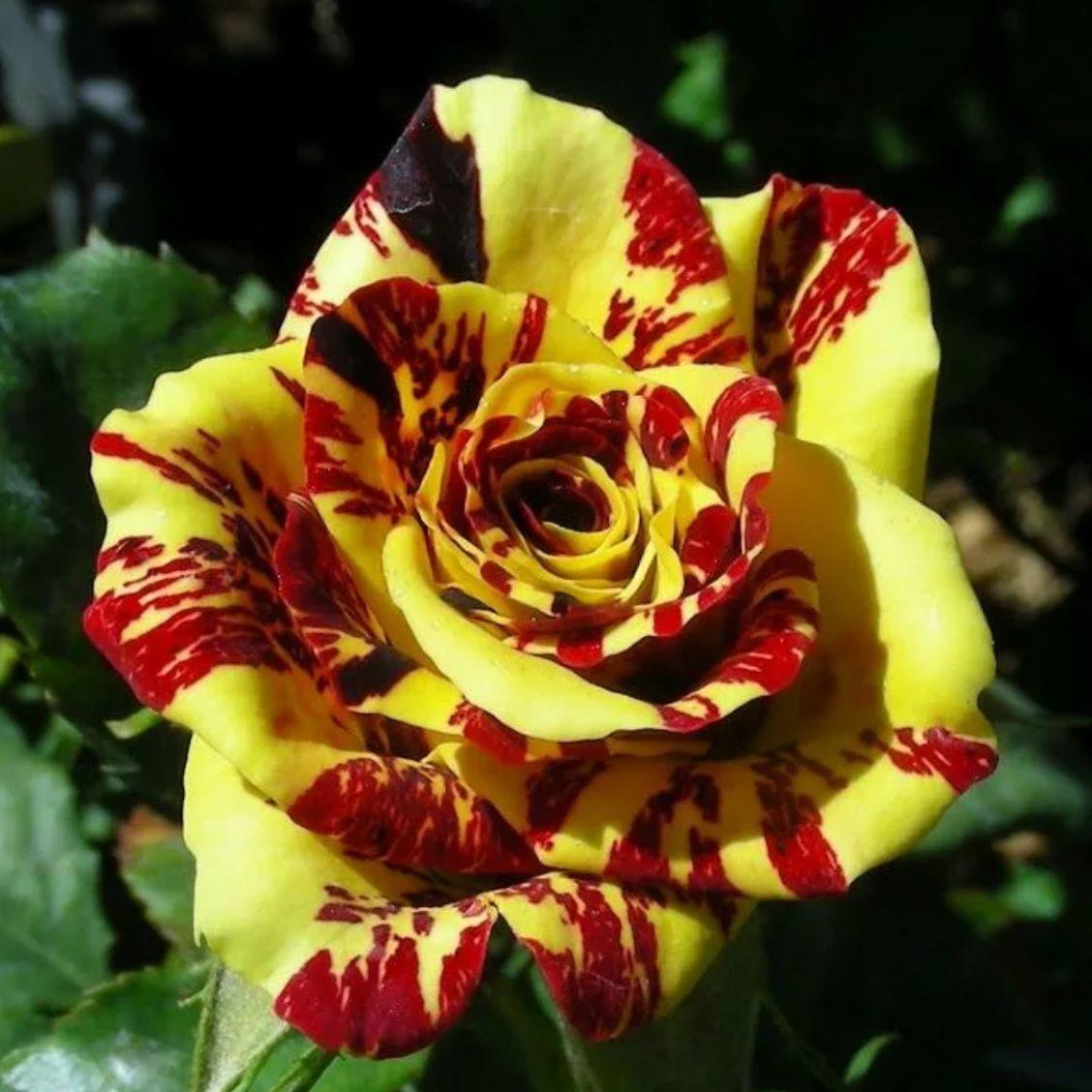 Роза чайно-гибридная Брызги Шампанского (2)