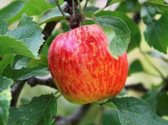 яблоня Медуница (2)