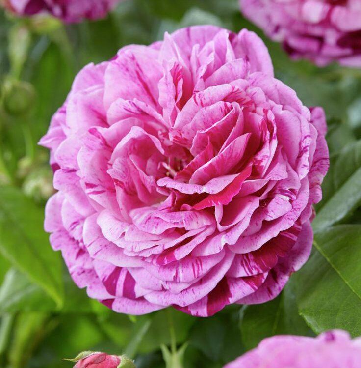 Роза парковая Фердинанд Пичард (2)