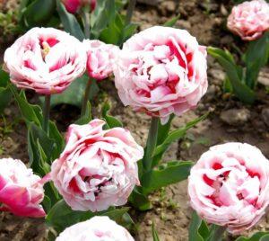 Тюльпан махровы Зизани