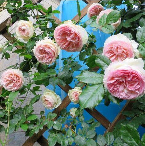 Роза плетистая Пьер де Ронсар (2)
