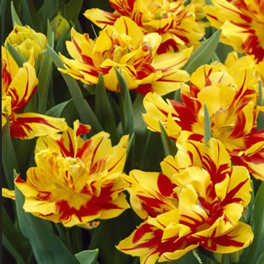 Тюльпан махровый ранний Монзела (2)