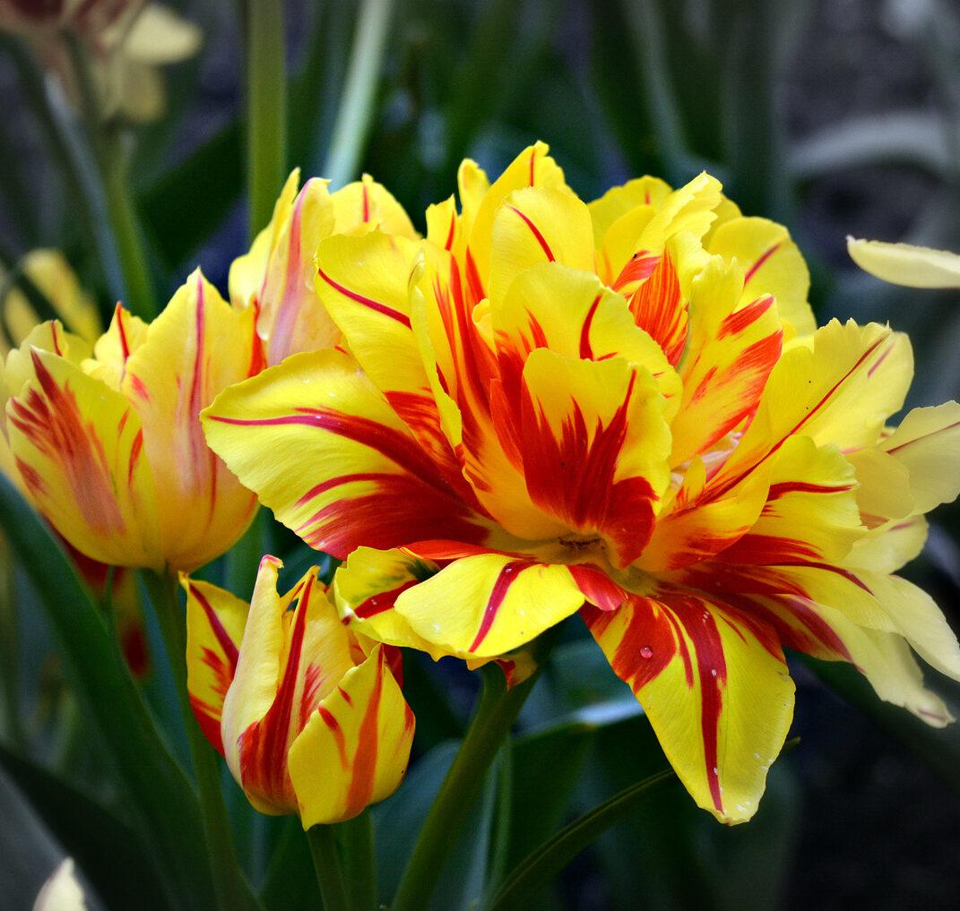Тюльпан махровый ранний Монзела