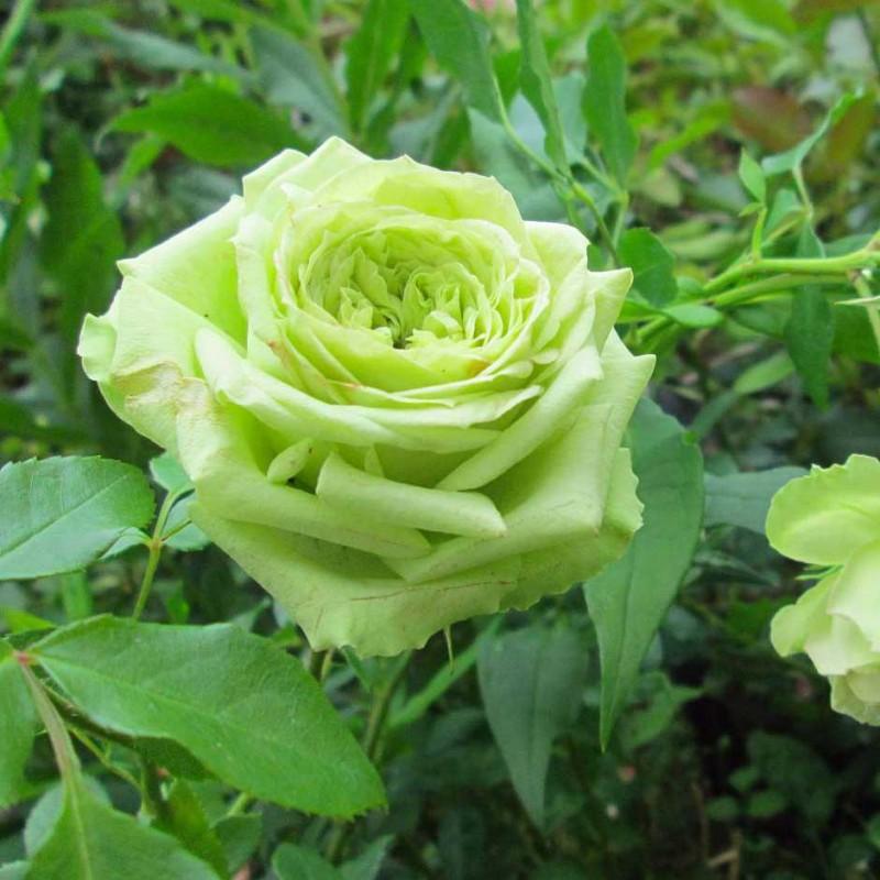 Роза чайно-гибридная Супер Грин (2)