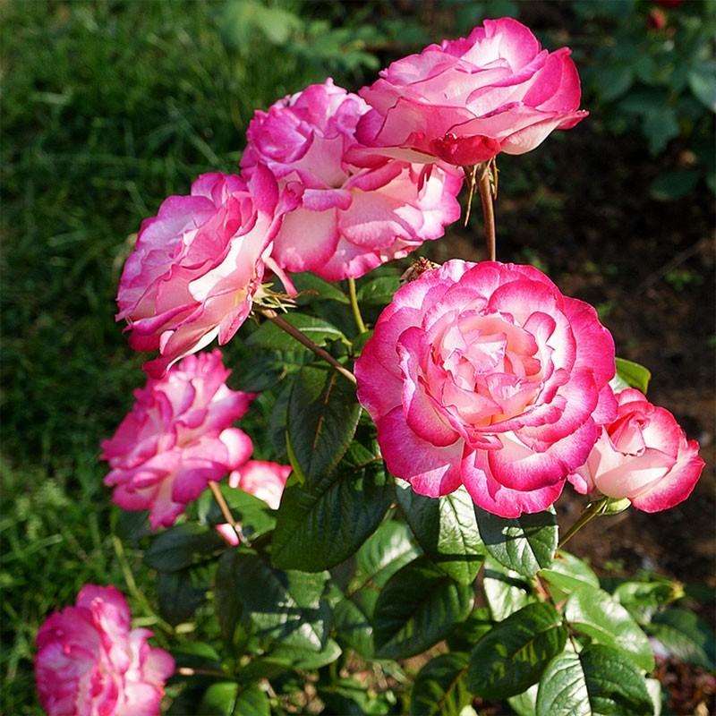 Роза чайно-гибридная Атлас (2)