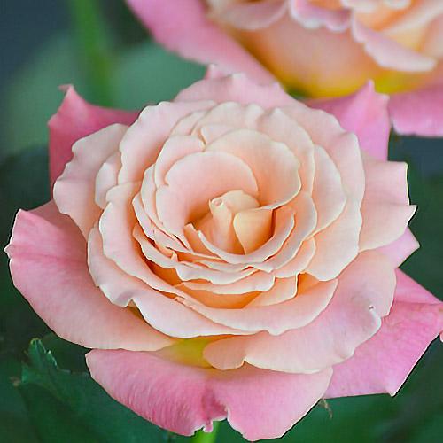 Роза чайно-гибридная Мисс Пигги (2)